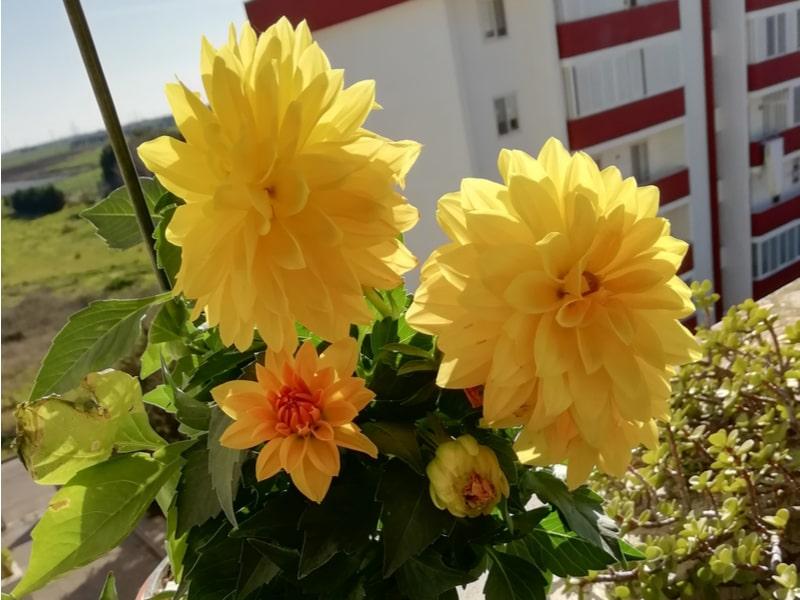 Fiori gialli sul davanzale