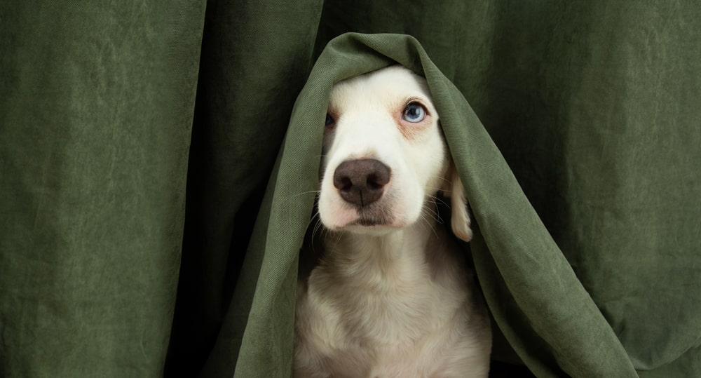 Cane spaventato dietro una tenda