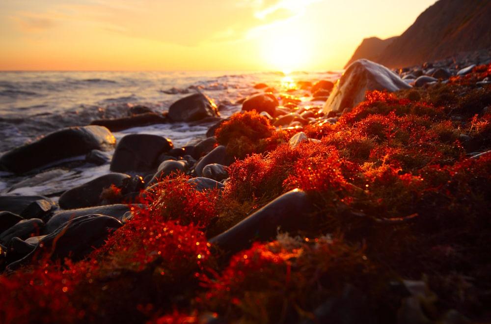 alga rossa longevità