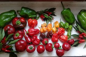 I peperoni raccolti nell'orto di Cascina Rapello